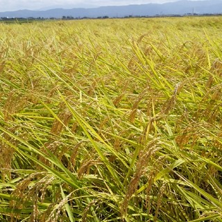 新米✨農家直送!新潟コシヒカリ精米10kg(米/穀物)