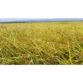 新米✨農家直送 新潟コシヒカリ玄米30kg(米/穀物)
