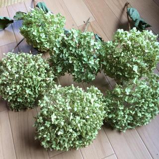 6 出来立て❣️✳️大きめサイズ⭐️秋色アナベル⭐️茎付き 6本セット(ドライフラワー)