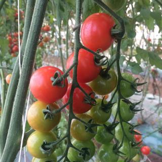 pinoさま専用 ミニトマト3kg 規格外品(野菜)
