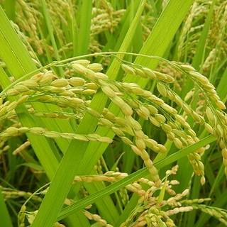 ゴールドスタイル様専用 彩のかがやき10㎏(12月頭ごろにはご購入)(米/穀物)