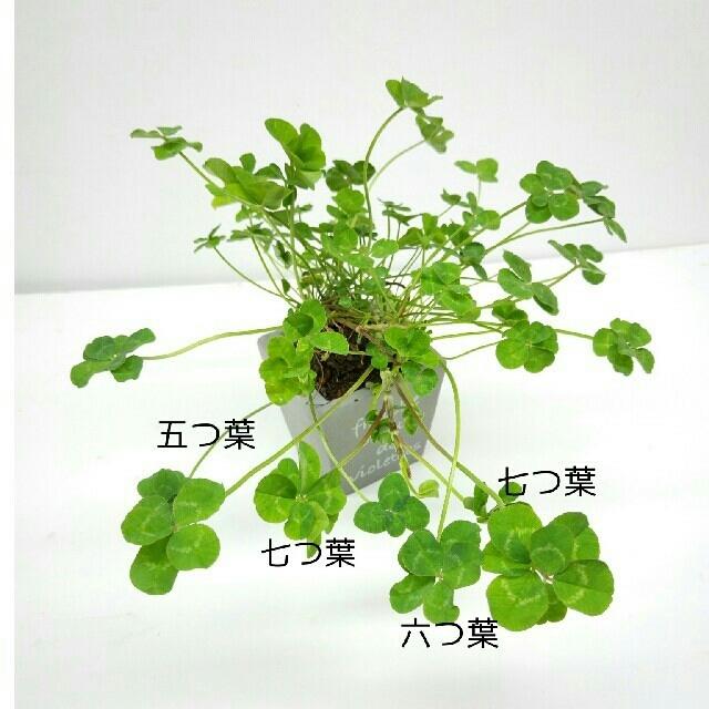 幸せ運ぶ「奇跡7つ葉のクローバー」かわいい陶器鉢付の通販 by ...