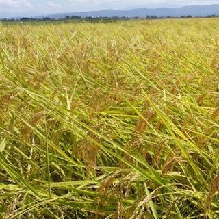 新米✨農家直送!新潟コシヒカリ玄米30kg(その他)