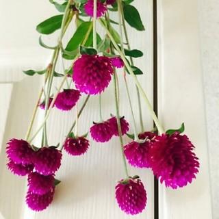 千日紅 ドライフラワー  紫 花材 送料無料(ドライフラワー)