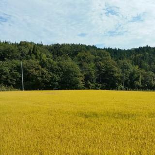 コシヒカリ 精米3キロ(米/穀物)
