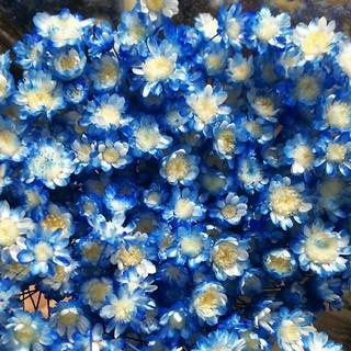 花材 スターフラワー キャンディブルー  30本(プリザーブドフラワー)