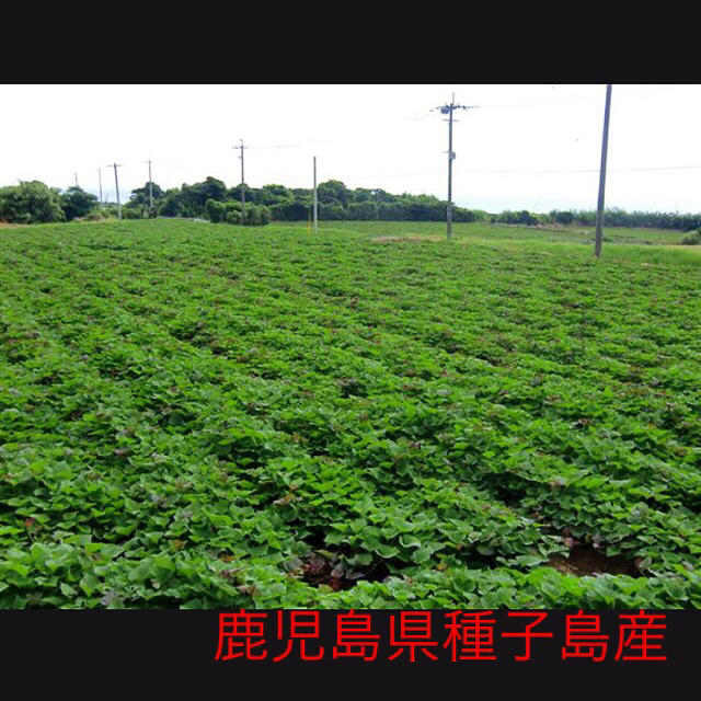 安納芋6キロ(鹿児島県種子島産)即購入ok 食品/飲料/酒の食品(野菜)の商品写真