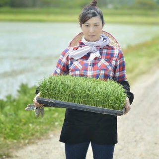 特別栽培米あきたこまち(米/穀物)