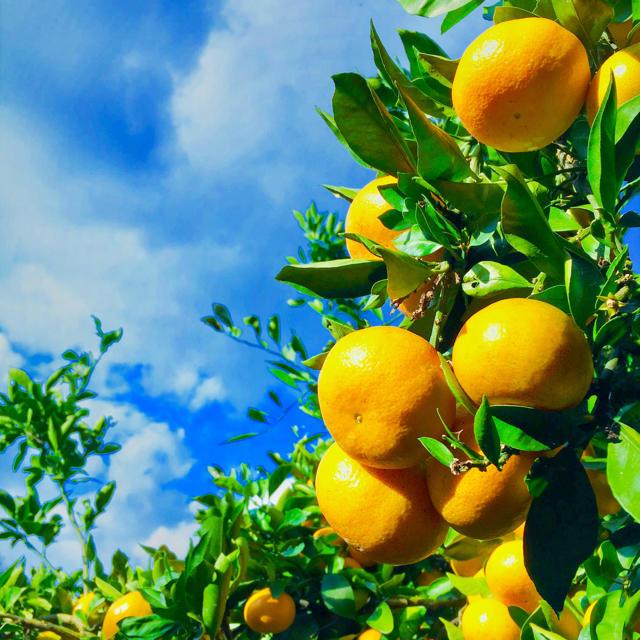 ミコ様専用ページ 食品/飲料/酒の食品(フルーツ)の商品写真