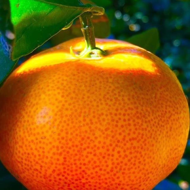【残りわずか】食べ応え十分!大玉みかん 食品/飲料/酒の食品(フルーツ)の商品写真