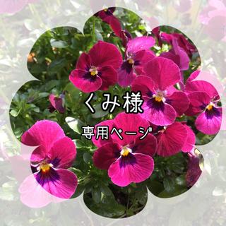 【SALE】花材❁ビオラ❁タイガーアイ入り(おまけ付き)(ドライフラワー)
