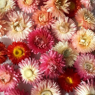 ヘリクリサム ヘッド 30個 花材 素材 ドライフラワー(ドライフラワー)