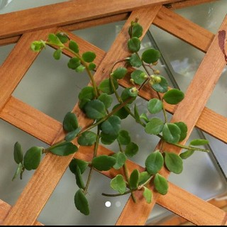カランコエフィフィ  多肉植物(その他)