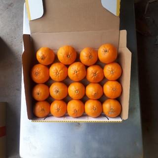 蒲郡みかん ポンカン 1.3kg サイズ混合 送料無料(フルーツ)