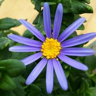 花の苗《ブルーデージー》1ポット♪♪(その他)