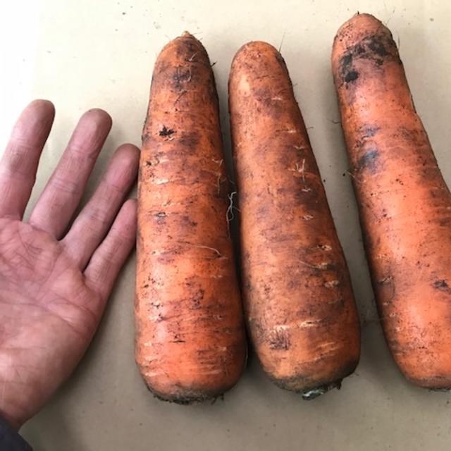 ジュース用に! 火曜又は金曜発送限定特価 「掘りたて大きい人参」5kg 食品/飲料/酒の食品(野菜)の商品写真