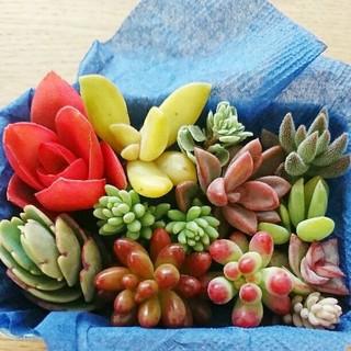 送料込み✨ 多肉植物 カット苗(その他)
