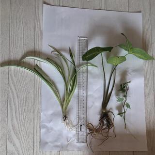 安心根付き☆観葉植物3種☆(その他)