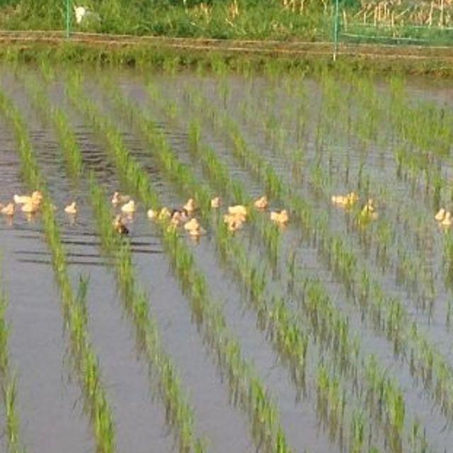 お買得♪岡山県備前市産「アヒルのお米」平成29年度産3合パック×2袋(玄米) 食品/飲料/酒の食品(米/穀物)の商品写真