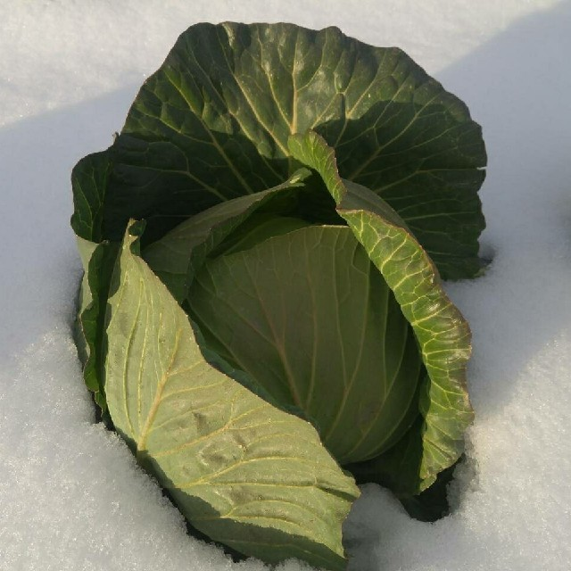Lalapa様専用キャベツ 食品/飲料/酒の食品(野菜)の商品写真
