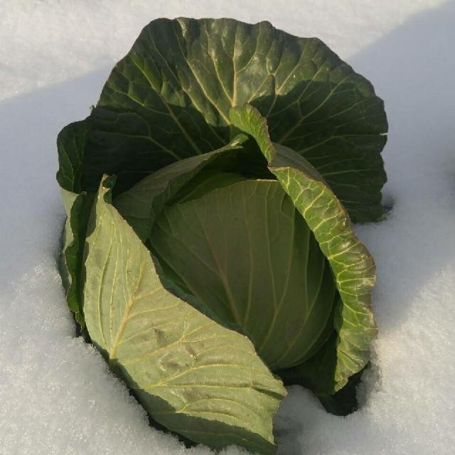 Tsuki様専用キャベツ 食品/飲料/酒の食品(野菜)の商品写真