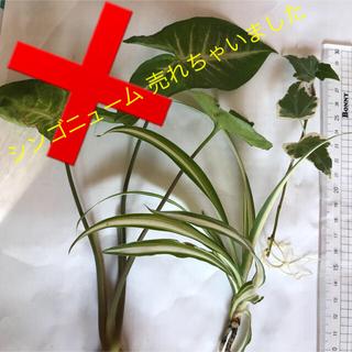 安心根付き✴︎観葉植物3種✴︎(その他)