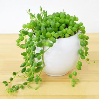 多肉植物グリーンネックレス(その他)