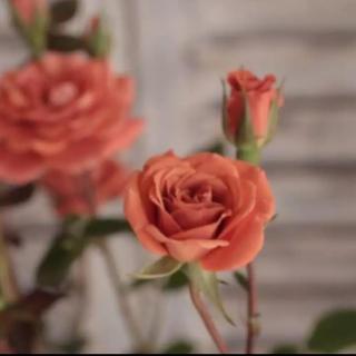 数量限定 ミニバラ  大人気品種 赤れんが色の『テディベア❤️』(ドライフラワー)
