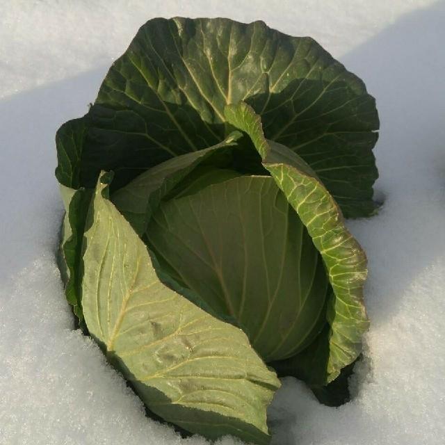 モカ様専用キャベツ 食品/飲料/酒の食品(野菜)の商品写真