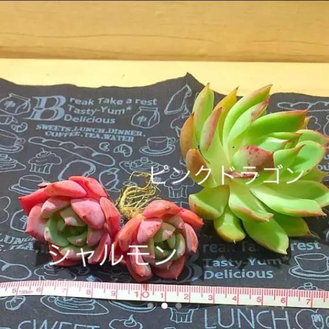 みぃ様専用  多肉植物 ハンドメイドのフラワー/ガーデン(その他)の商品写真