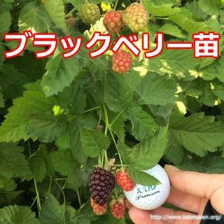 ■ブラックベリー苗 トゲ無しボイセンベリー 健康フルーツ 無農薬栽培♪(フルーツ)