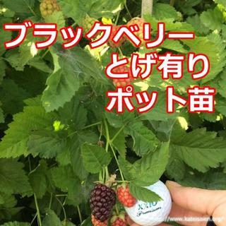 ■ブラックベリー苗トゲ有りポット苗ボイセンベリー健康フルーツ無農薬栽培☆送料無料(フルーツ)