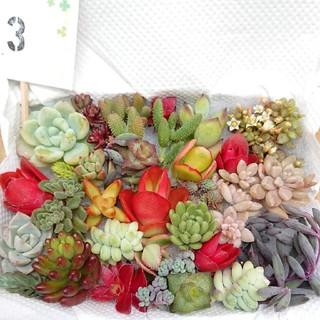 紫杜慧さん専用☆【3】多肉植物☆カラフルMIXとフリズルシズル(その他)