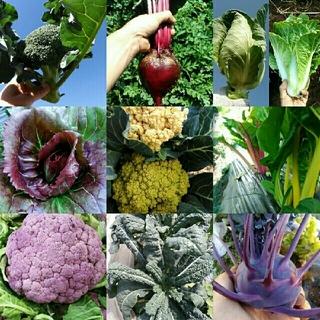 秋冬の葉物野菜 イタリア野菜の種など 400円~ 兼ご相談ページ(野菜)