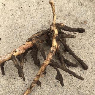 ミョウガ 地下茎 ❸(野菜)