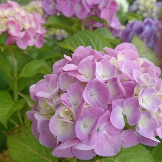 紫陽花 あじさい ピンク➡紫(その他)