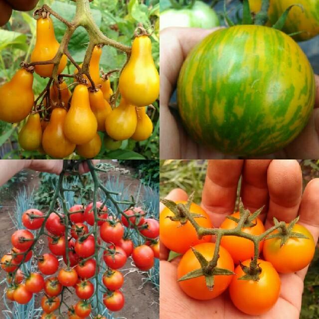 2~3月蒔き イタリア野菜の種子など。カラフルなトマトの種 4種類10粒ずつ 食品/飲料/酒の食品(野菜)の商品写真