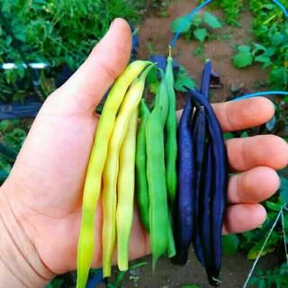 イタリア野菜 カラフルなインゲンの種子 プランターでOK(野菜)