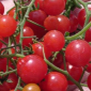 マイクロトマト 種  赤(野菜)