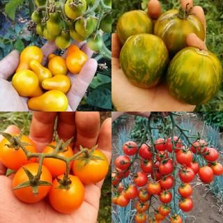 3月~4月蒔き イタリア野菜の種子など。カラフルなトマトの種 4種類10粒ずつ (野菜)
