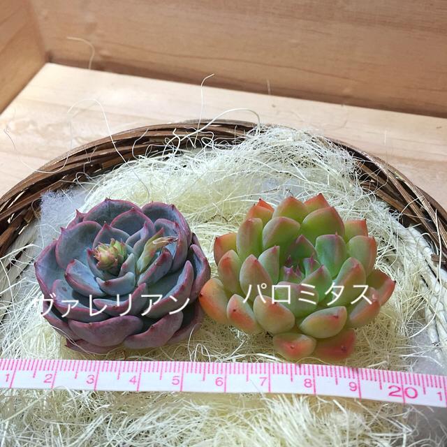 ハーブ❤︎アロマ様専用  多肉植物  503 ハンドメイドのフラワー/ガーデン(その他)の商品写真