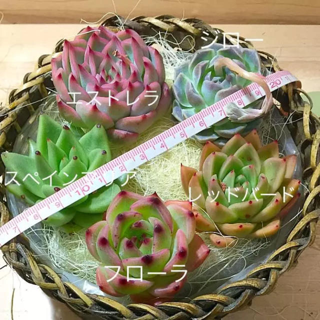 ♡きなにゃん♡様専用  多肉植物524 ハンドメイドのフラワー/ガーデン(その他)の商品写真