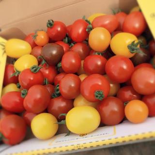 本日収穫分*熊本産*カラフルミニトマト(野菜)