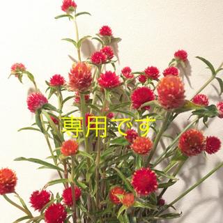 千日紅★黄花&赤花ミックス・とも様専用(ドライフラワー)