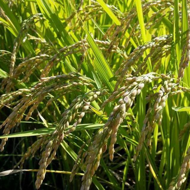 減農薬栽培米 ヒノヒカリ 玄米3キロ 食品/飲料/酒の食品(米/穀物)の商品写真