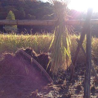 お試しセット♪「アヒルのお米・はざ掛け」H29年度岡山県産3合白米1袋(米/穀物)