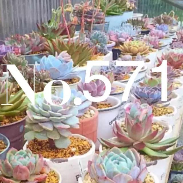 awayuki様専用  多肉植物571 ハンドメイドのフラワー/ガーデン(その他)の商品写真