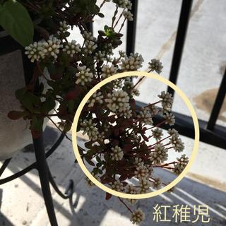 【紅稚児】カット苗(多肉植物)(その他)