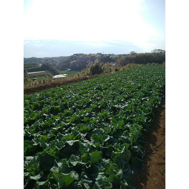 今が旬! 三浦の春キャベツ 食品/飲料/酒の食品(野菜)の商品写真