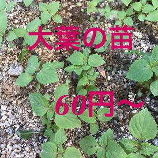 大葉苗の苗6つ(野菜)